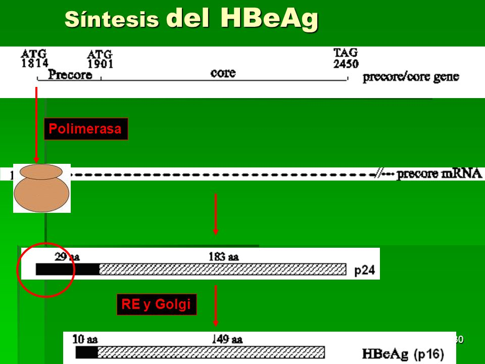 Síntesis del HBeAg Polimerasa RE y Golgi
