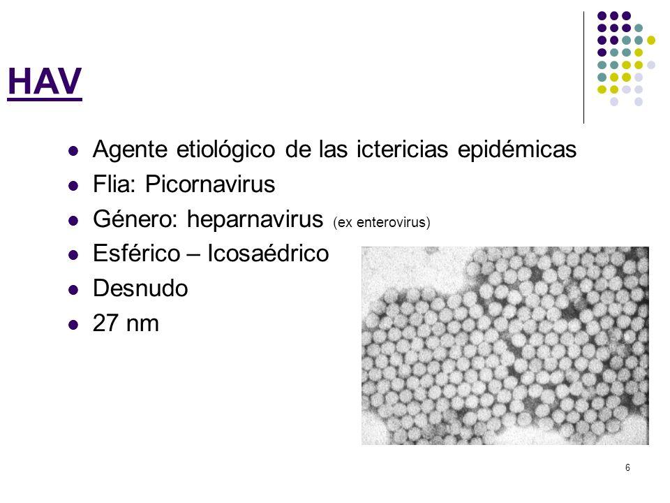 HAV Agente etiológico de las ictericias epidémicas Flia: Picornavirus