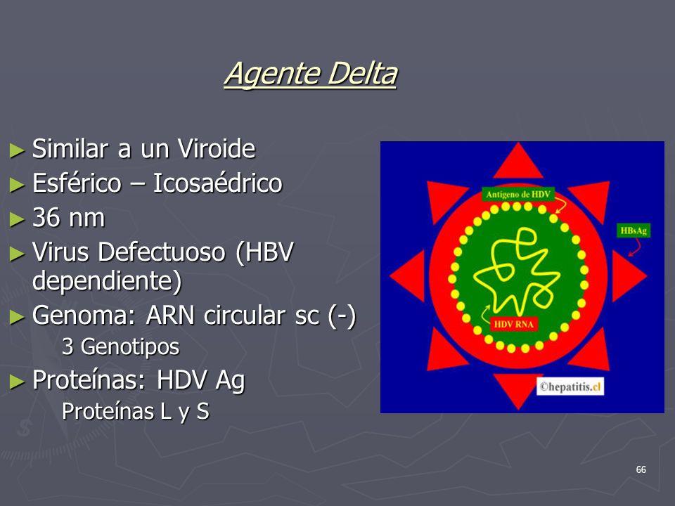 Agente Delta Similar a un Viroide Esférico – Icosaédrico 36 nm