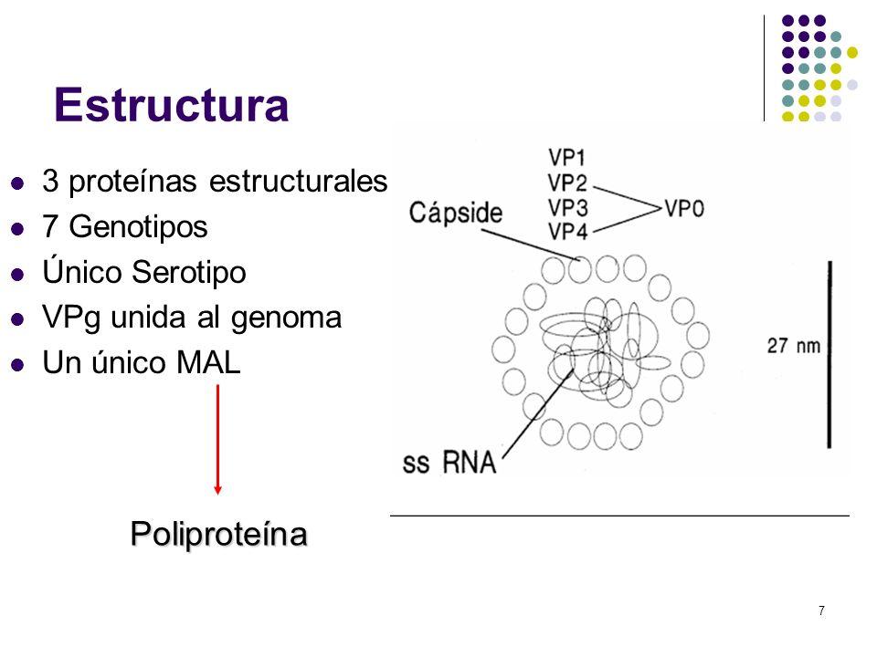 Estructura Poliproteína 3 proteínas estructurales 7 Genotipos