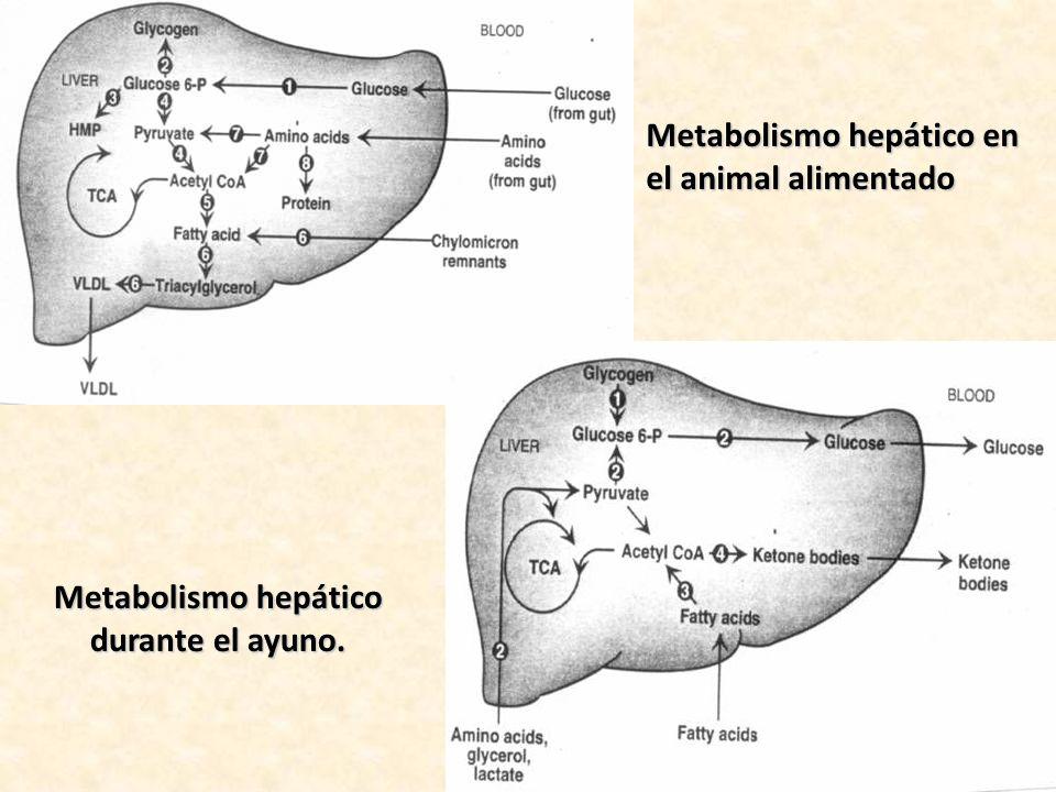 Metabolismo hepático durante el ayuno.