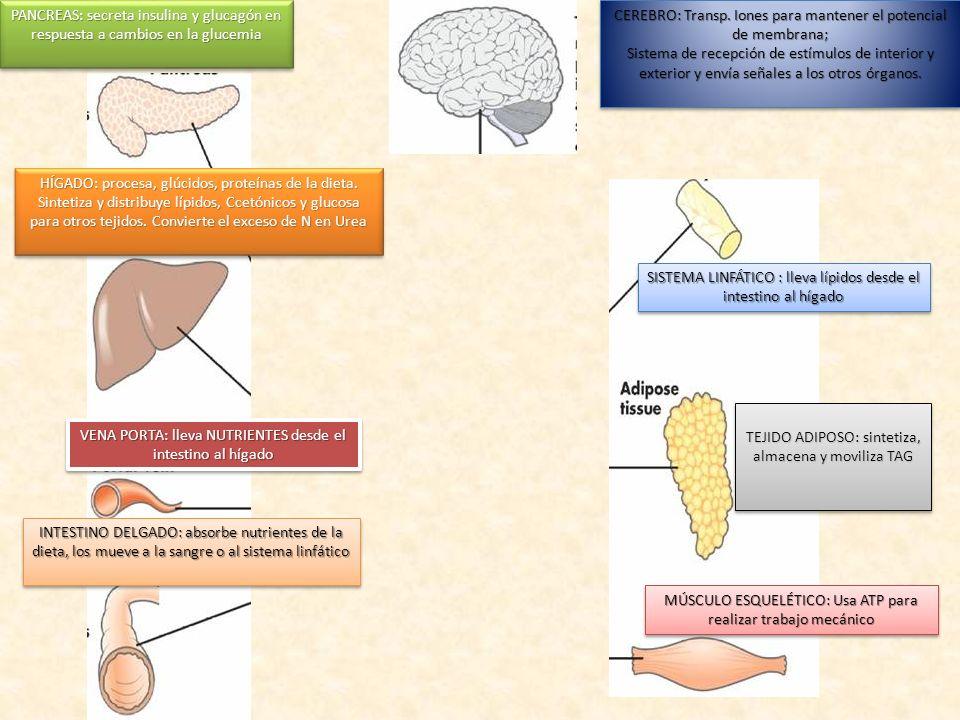 CEREBRO: Transp. Iones para mantener el potencial de membrana;
