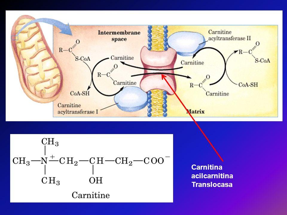 Carnitina acilcarnitina Translocasa