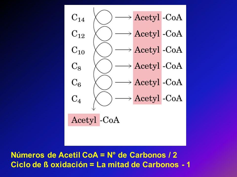 Números de Acetil CoA = N° de Carbonos / 2