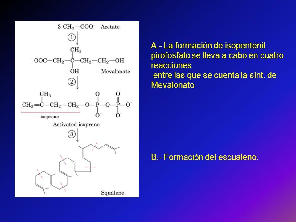 A.- La formación de isopentenil pirofosfato se lleva a cabo en cuatro reacciones