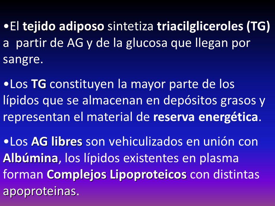 El tejido adiposo sintetiza triacilgliceroles (TG) a partir de AG y de la glucosa que llegan por sangre.