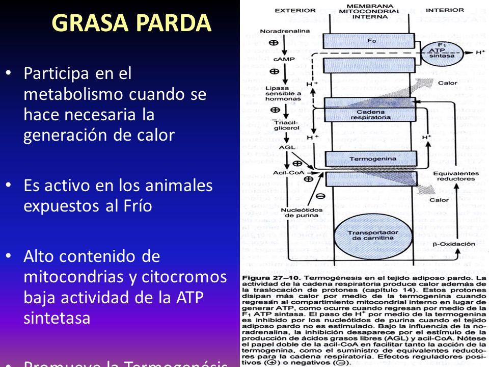 GRASA PARDA Participa en el metabolismo cuando se hace necesaria la generación de calor. Es activo en los animales expuestos al Frío.