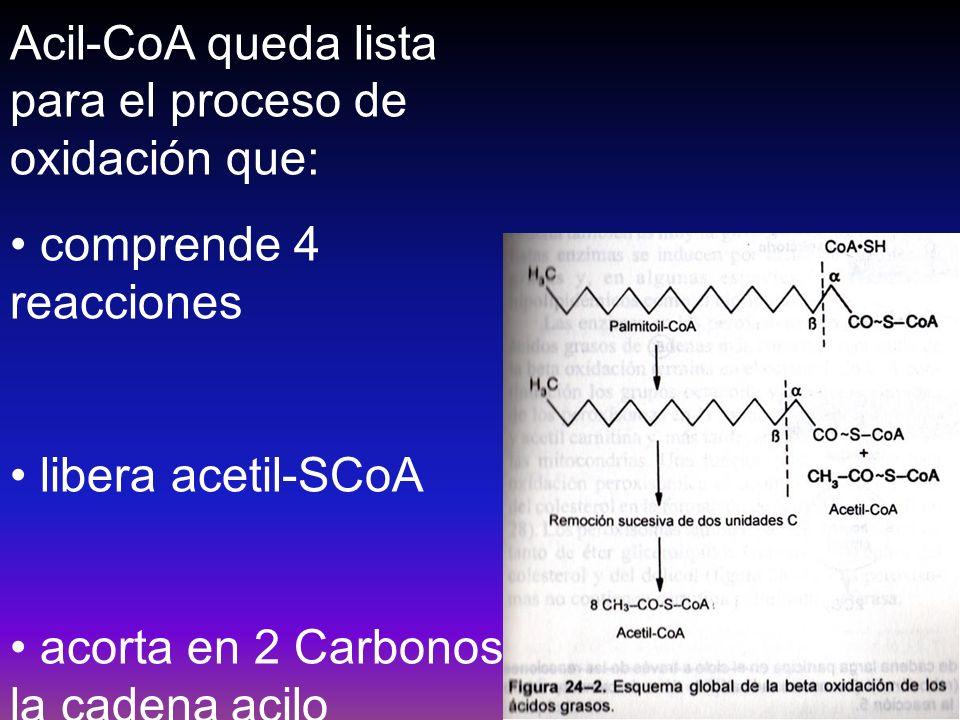 Acil-CoA queda lista para el proceso de oxidación que: