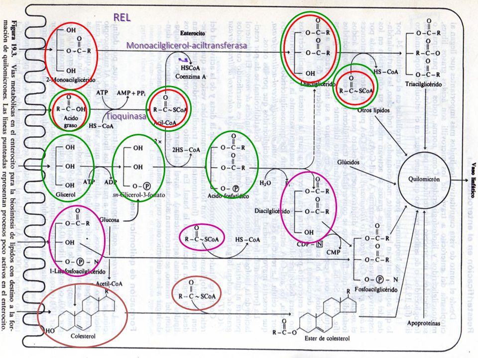 Monoacilglicerol-aciltransferasa