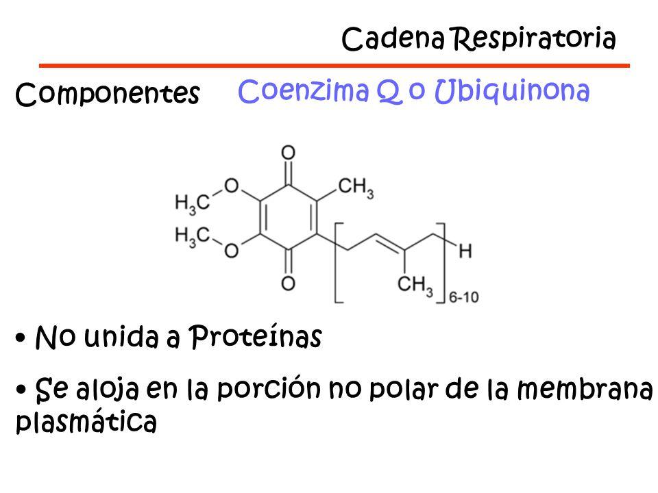 Cadena Respiratoria Componentes. Coenzima Q o Ubiquinona. No unida a Proteínas. Se aloja en la porción no polar de la membrana.