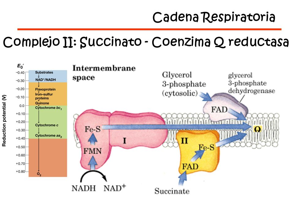 Cadena Respiratoria Complejo II: Succinato - Coenzima Q reductasa