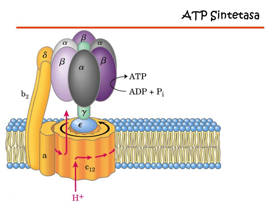 ATP Sintetasa