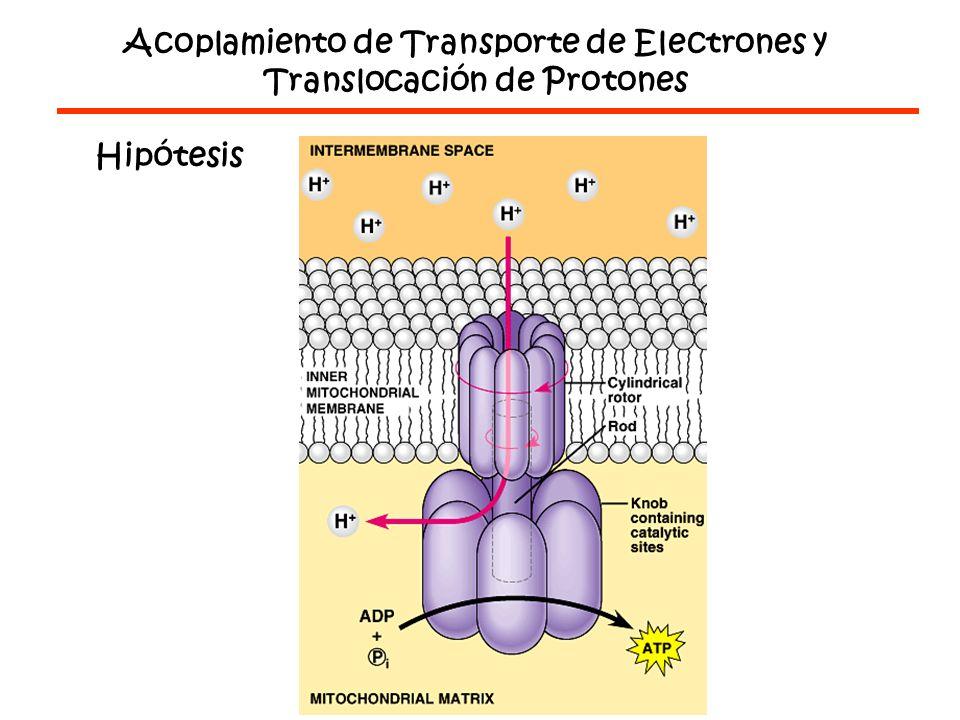 Acoplamiento de Transporte de Electrones y Translocación de Protones