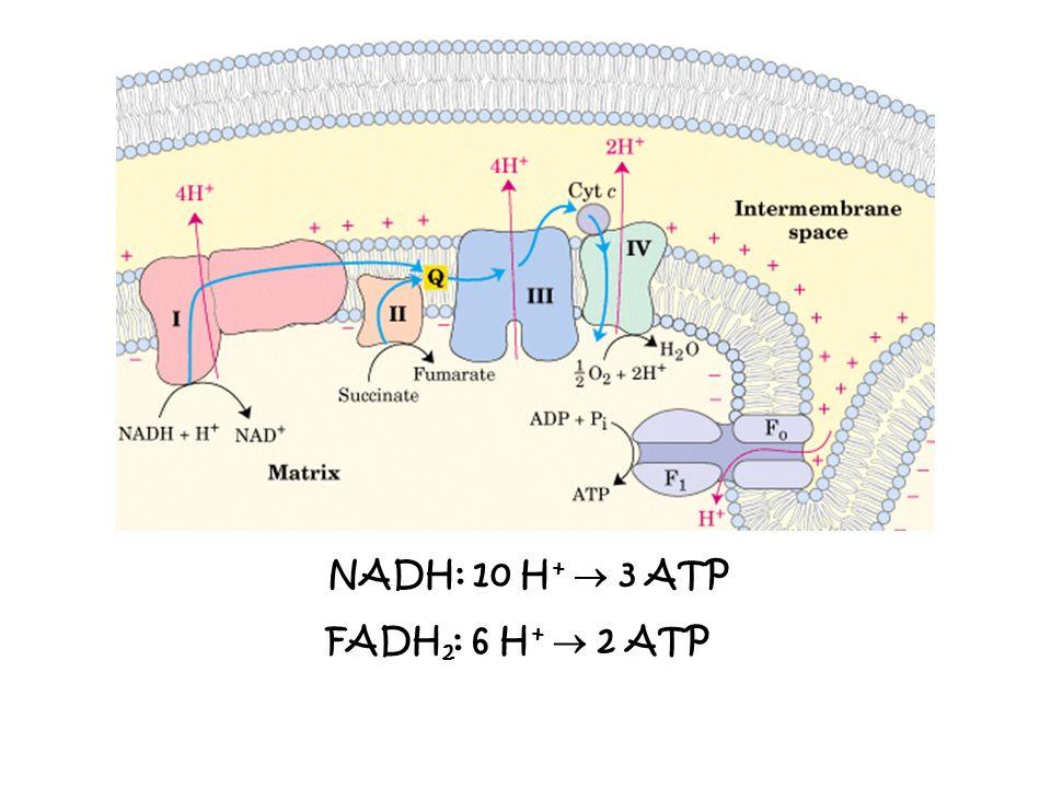 NADH: 10 H+  3 ATP FADH2: 6 H+  2 ATP