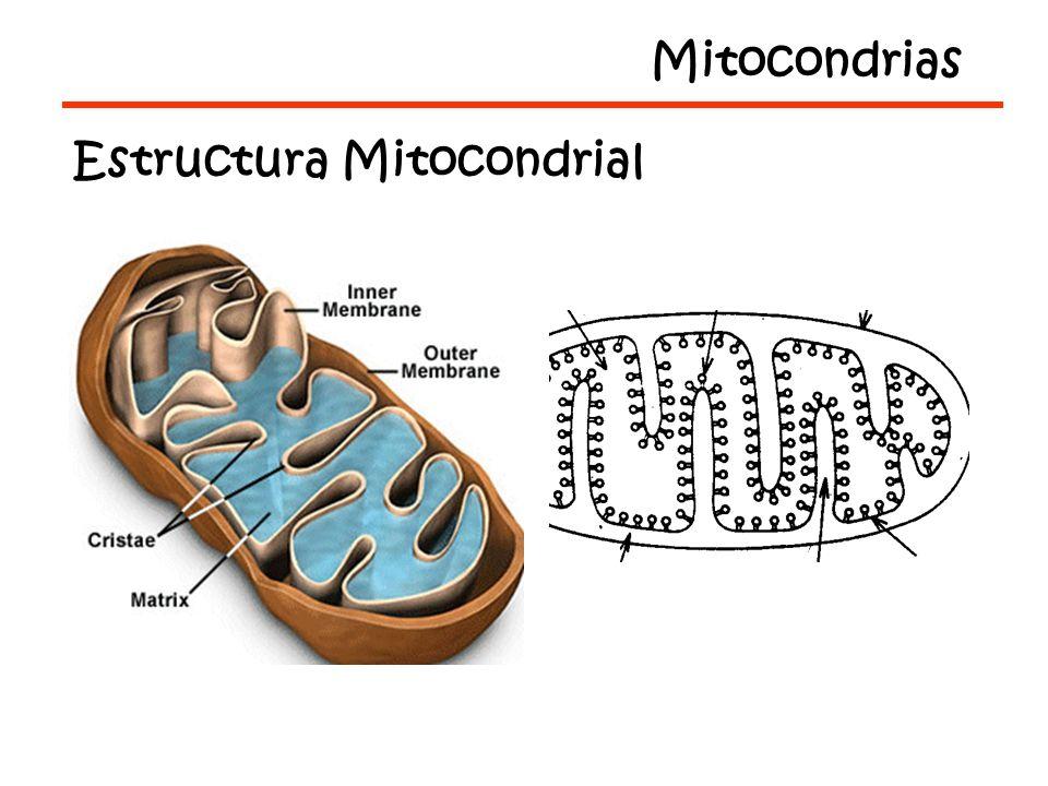 Mitocondrias Estructura Mitocondrial