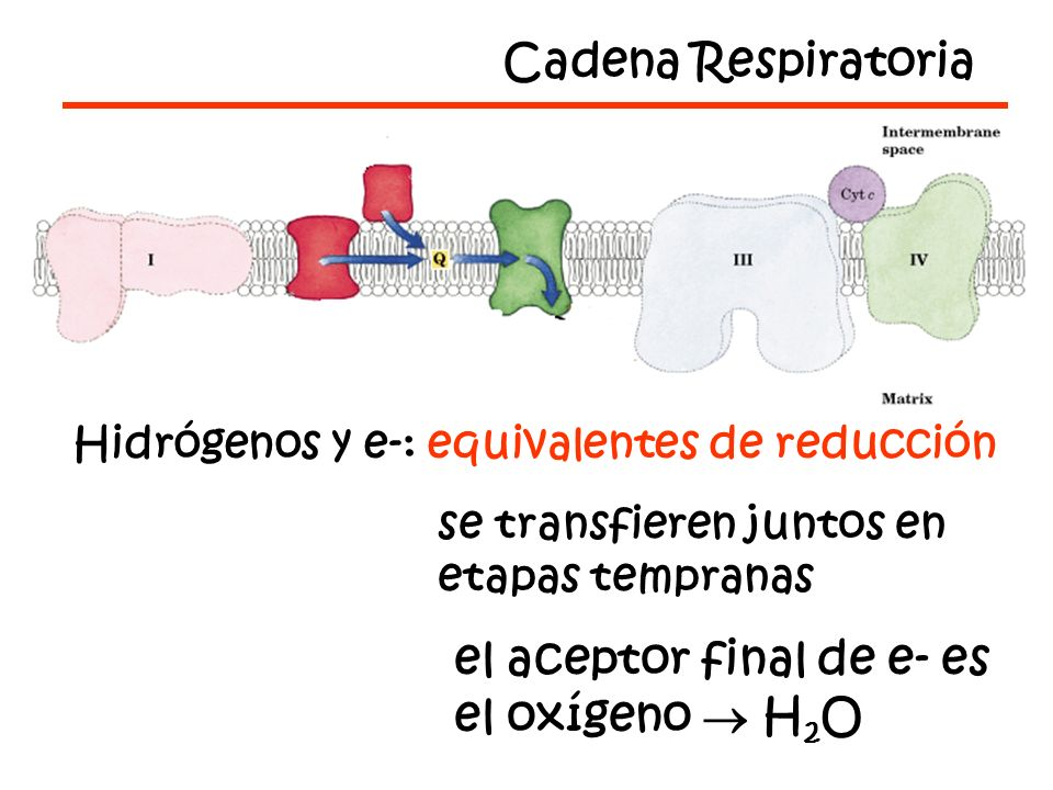 el aceptor final de e- es el oxígeno  H2O