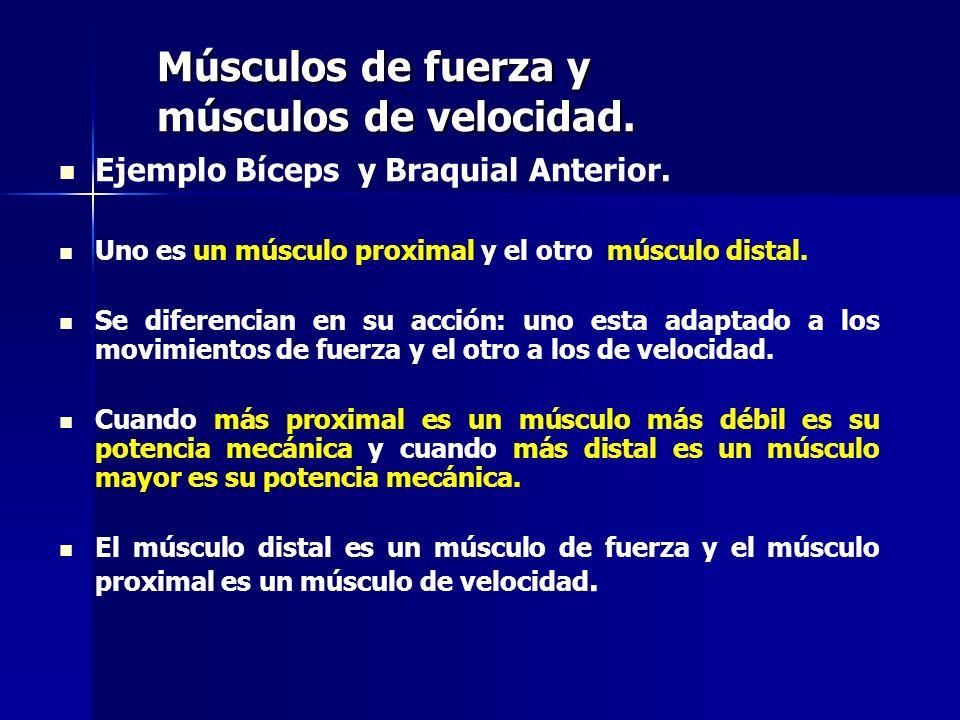 Músculos de fuerza y músculos de velocidad.