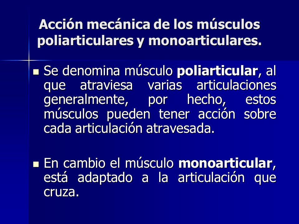 Acción mecánica de los músculos poliarticulares y monoarticulares.