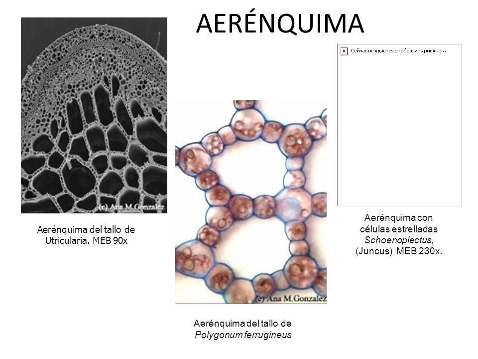 AERÉNQUIMA. Aerénquima con células estrelladas Schoenoplectus, (Juncus) MEB 230x. Aerénquima del tallo de Utricularia. MEB 90x.