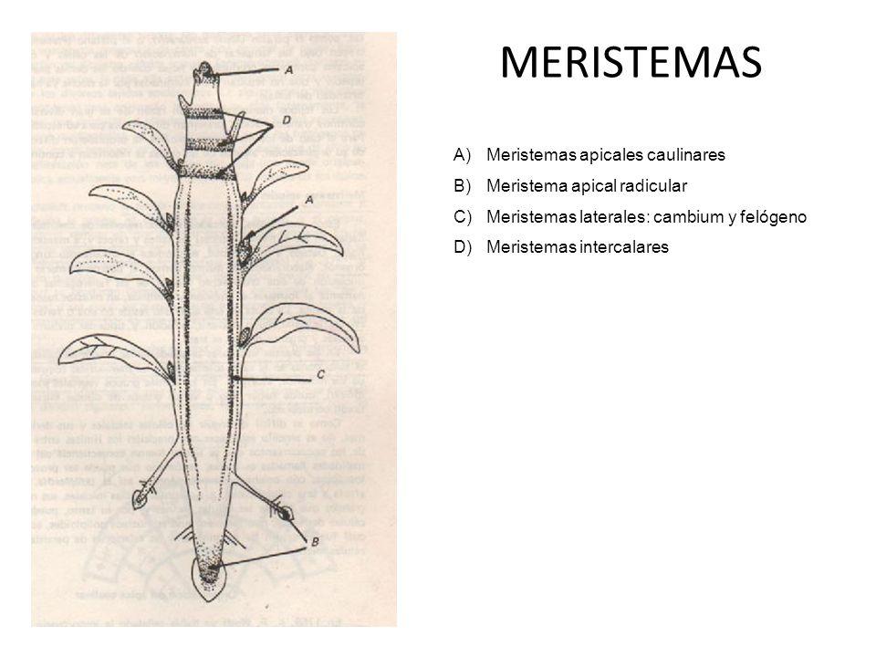 MERISTEMAS Meristemas apicales caulinares Meristema apical radicular