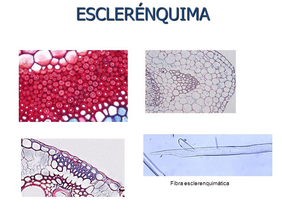 ESCLERÉNQUIMA Fibra esclerenquimática