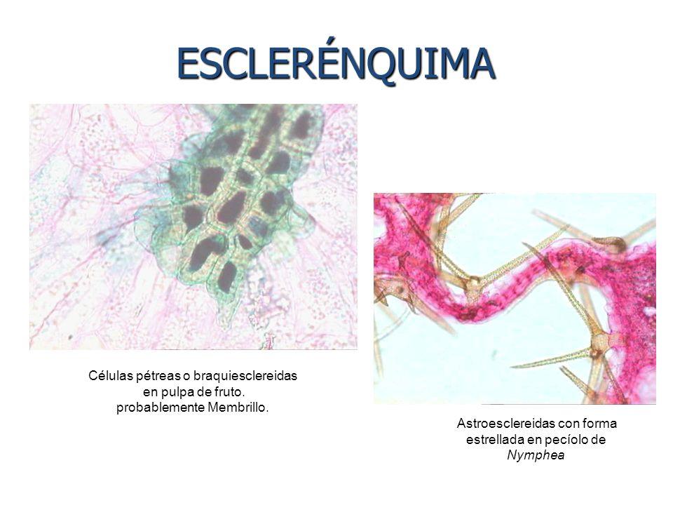 ESCLERÉNQUIMA Células pétreas o braquiesclereidas en pulpa de fruto.
