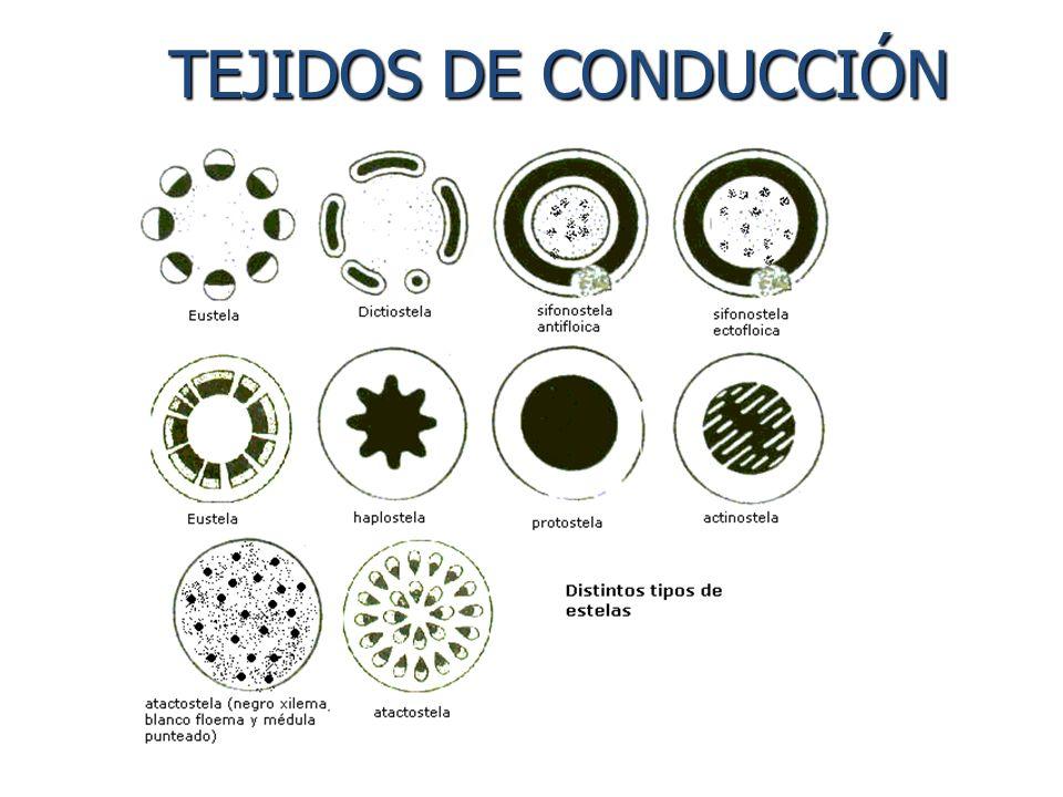 TEJIDOS DE CONDUCCIÓN