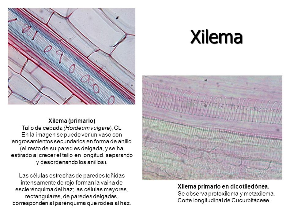 Tallo de cebada (Hordeum vulgare), CL
