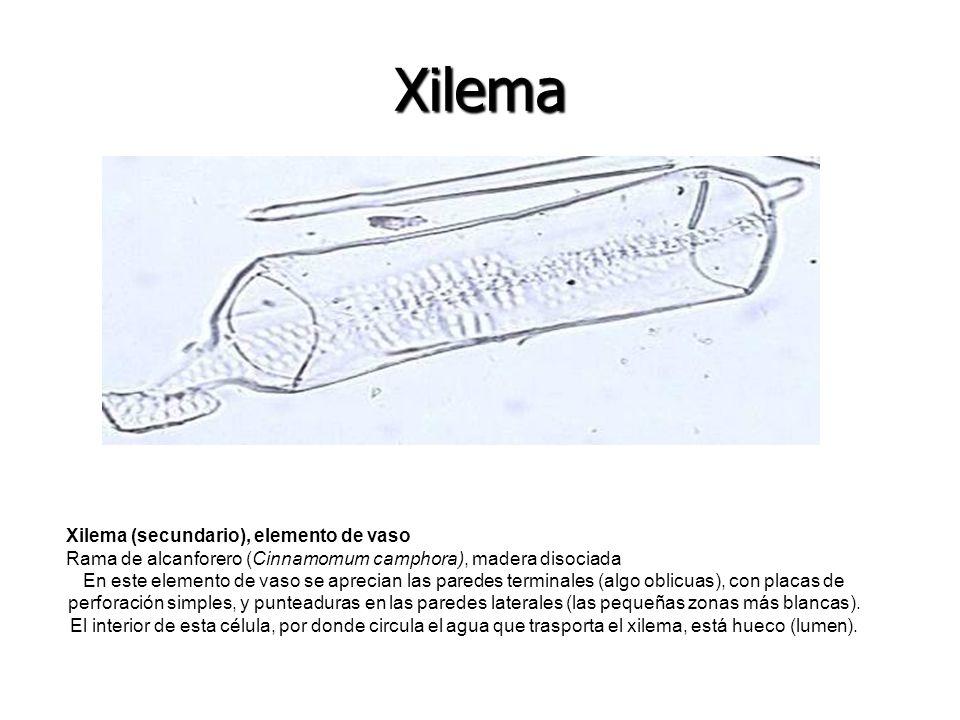 Xilema Xilema (secundario), elemento de vaso