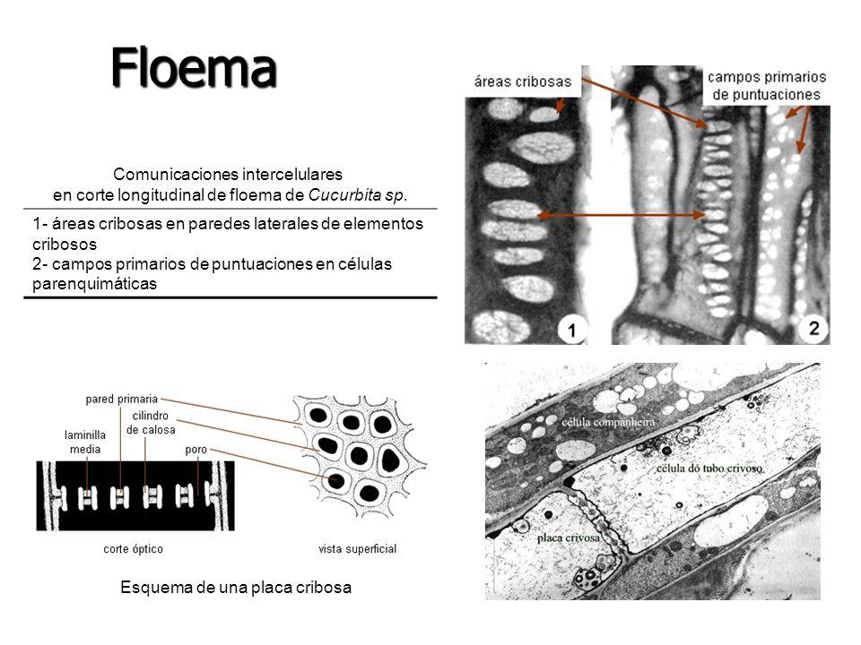 Floema Comunicaciones intercelulares en corte longitudinal de floema de Cucurbita sp. 1- áreas cribosas en paredes laterales de elementos cribosos.