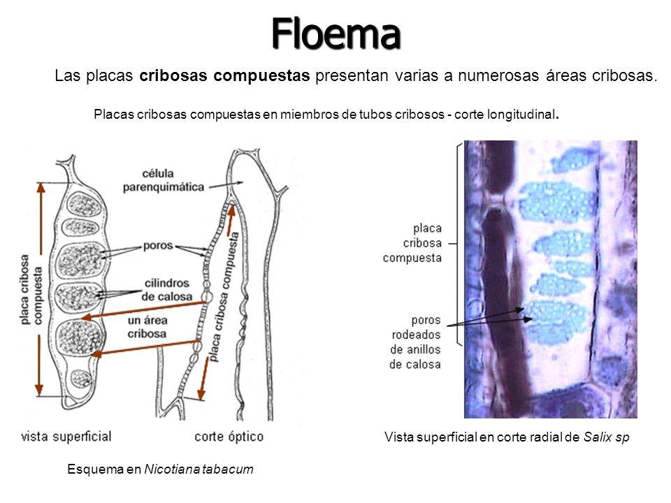 Floema Las placas cribosas compuestas presentan varias a numerosas áreas cribosas.