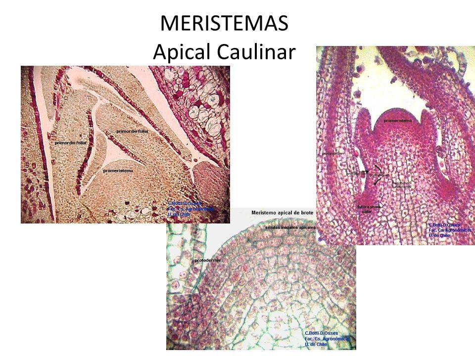 MERISTEMAS Apical Caulinar