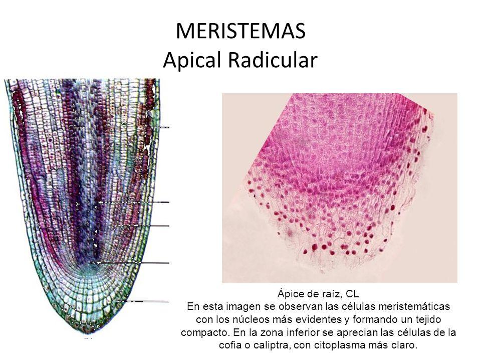 MERISTEMAS Apical Radicular