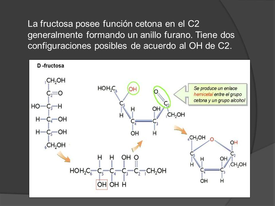 La fructosa posee función cetona en el C2 generalmente formando un anillo furano.
