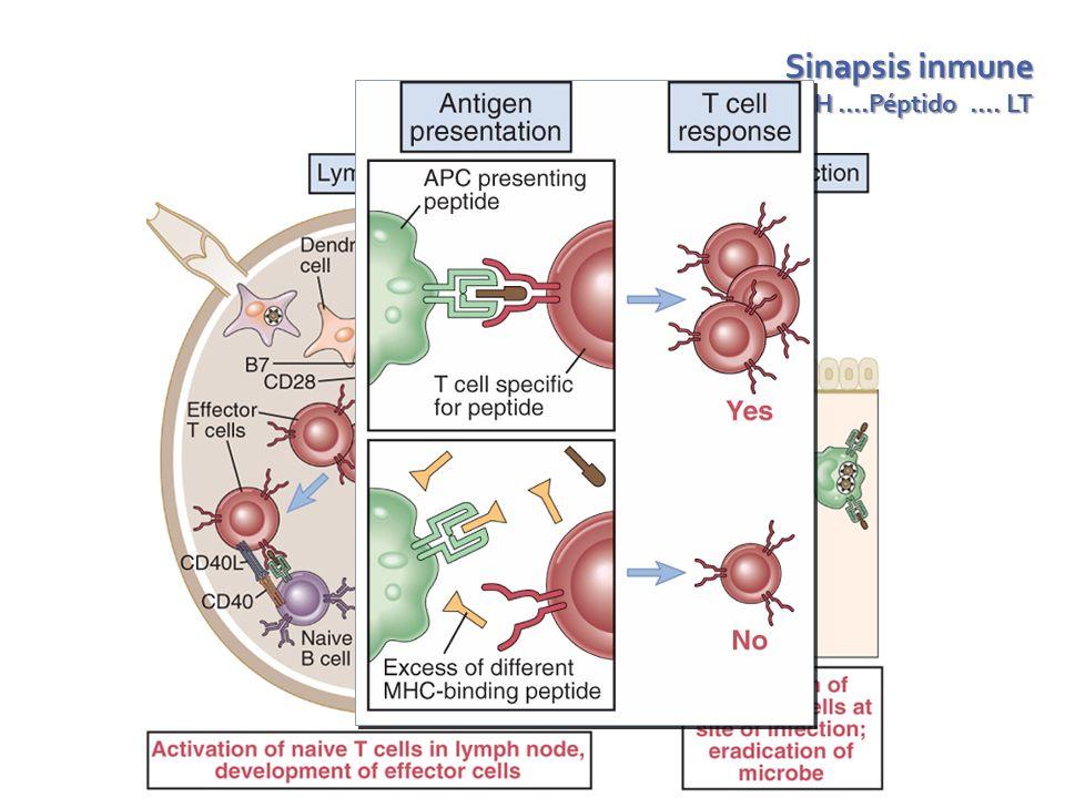 Sinapsis inmune APC – MCH ….Péptido …. LT