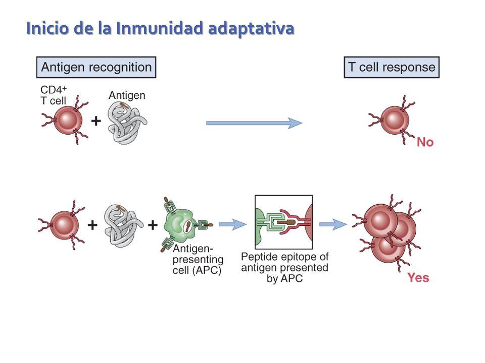 Inicio de la Inmunidad adaptativa
