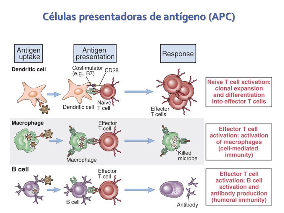 Células presentadoras de antígeno (APC)