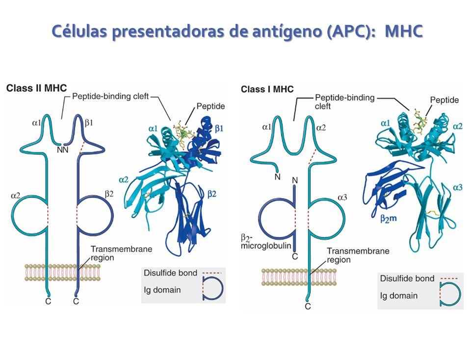 Células presentadoras de antígeno (APC): MHC