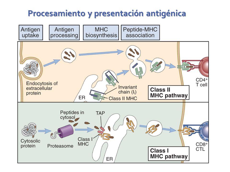 Procesamiento y presentación antigénica