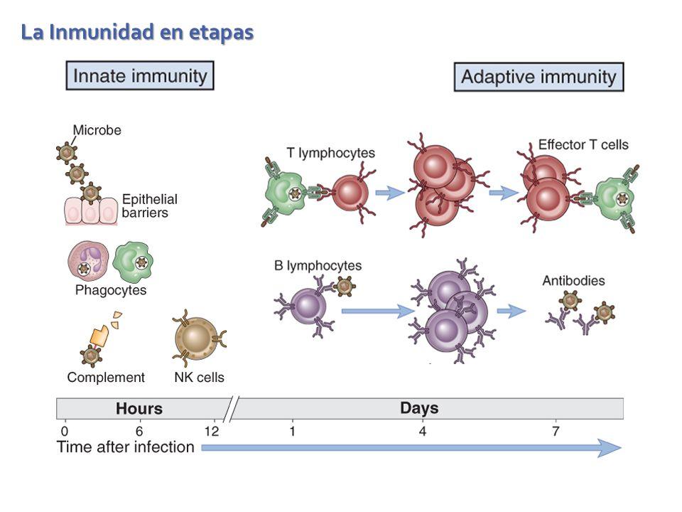 La Inmunidad en etapas