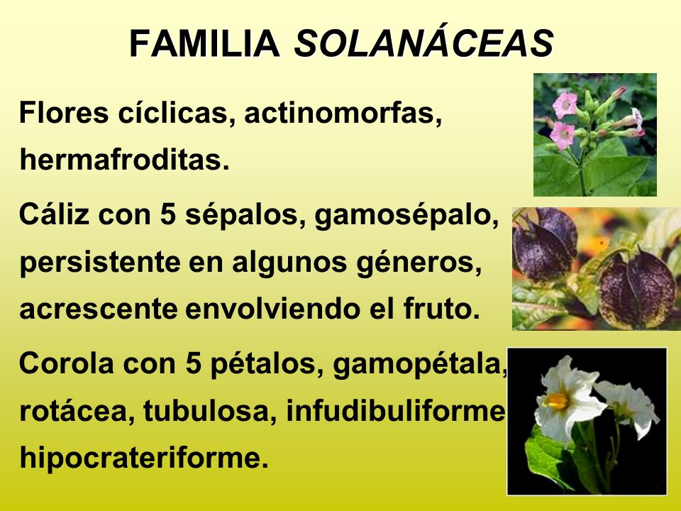 FAMILIA SOLANÁCEAS Flores cíclicas, actinomorfas, hermafroditas.