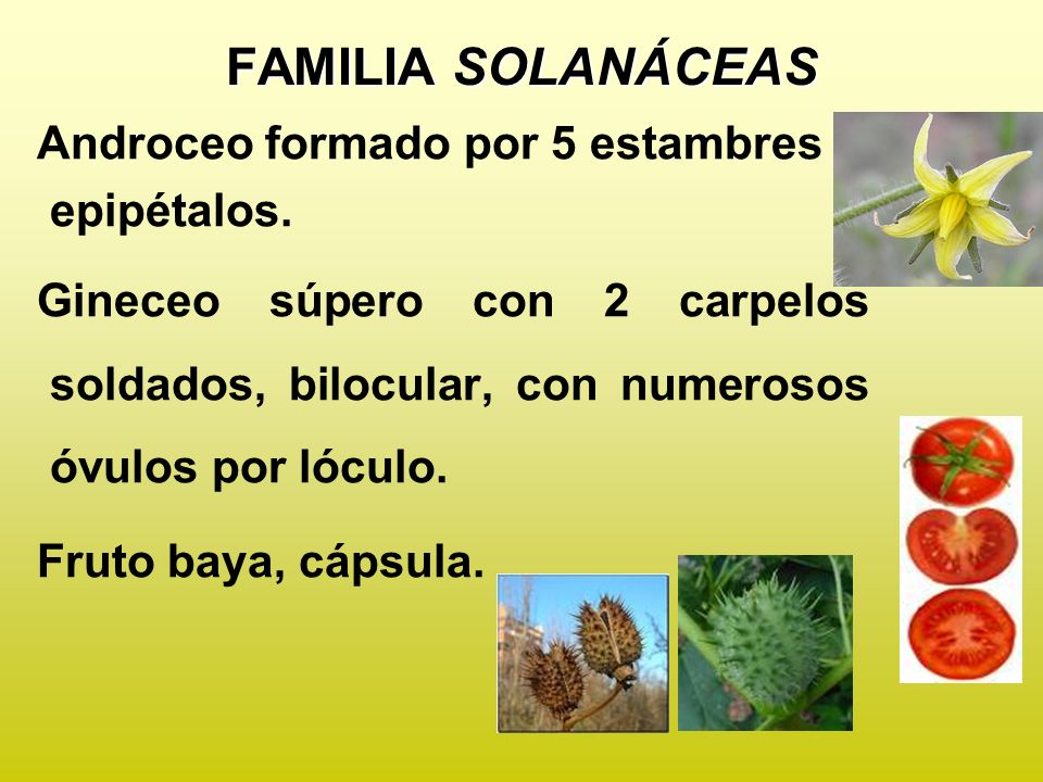 FAMILIA SOLANÁCEAS Androceo formado por 5 estambres epipétalos.