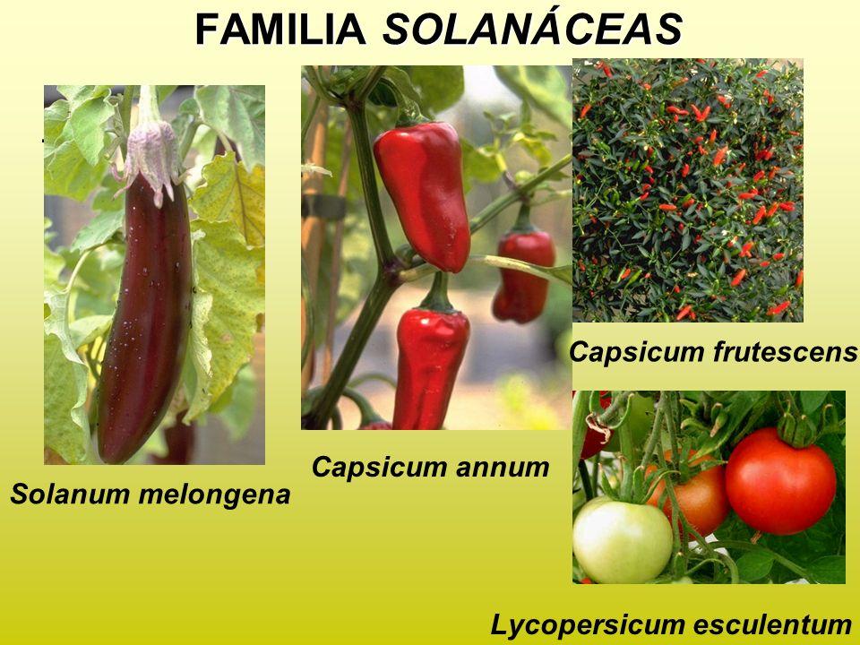 FAMILIA SOLANÁCEAS . Capsicum frutescens Capsicum annum
