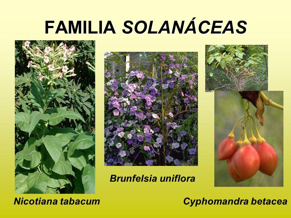 FAMILIA SOLANÁCEAS Brunfelsia uniflora Nicotiana tabacum