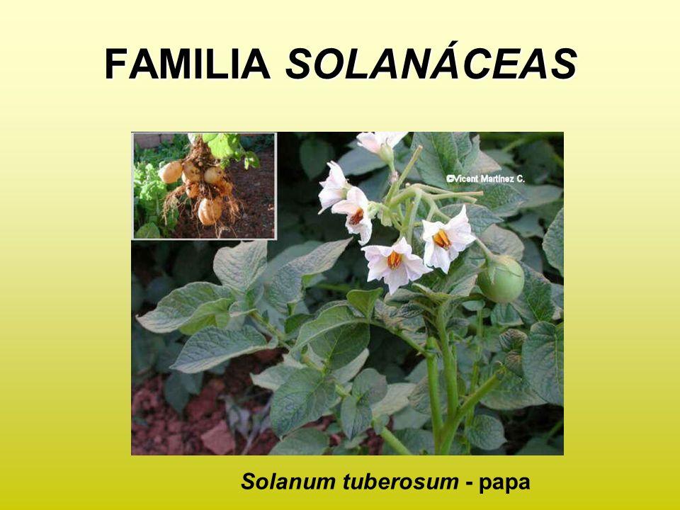FAMILIA SOLANÁCEAS Solanum tuberosum - papa