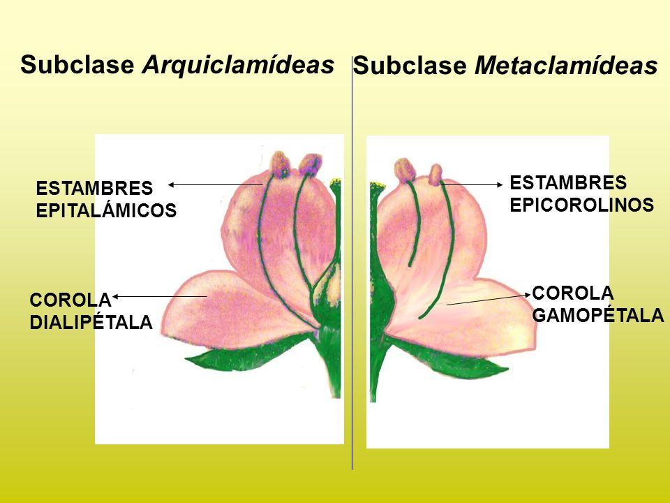 Subclase Arquiclamídeas Subclase Metaclamídeas