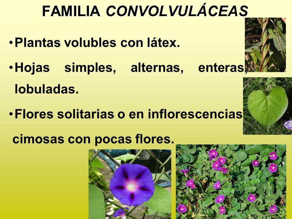 FAMILIA CONVOLVULÁCEAS
