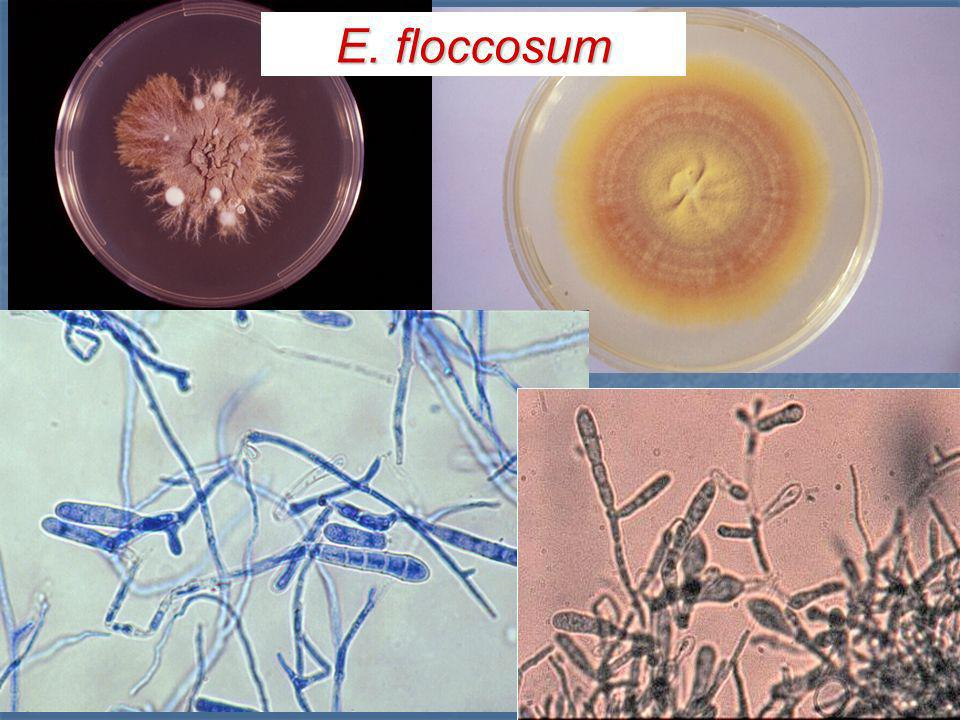 E. floccosum