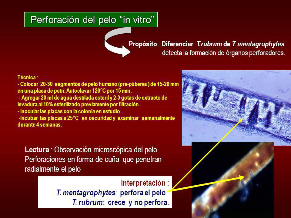 Perforación del pelo in vitro