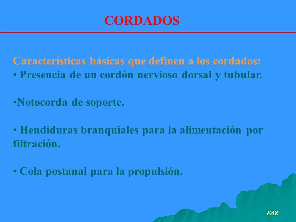 CORDADOS Características básicas que definen a los cordados: